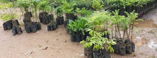 Mudas preparadas para a distribuição: do Posto Agropecuário aos fazendeiros, sitiantes e a equipes do Saae