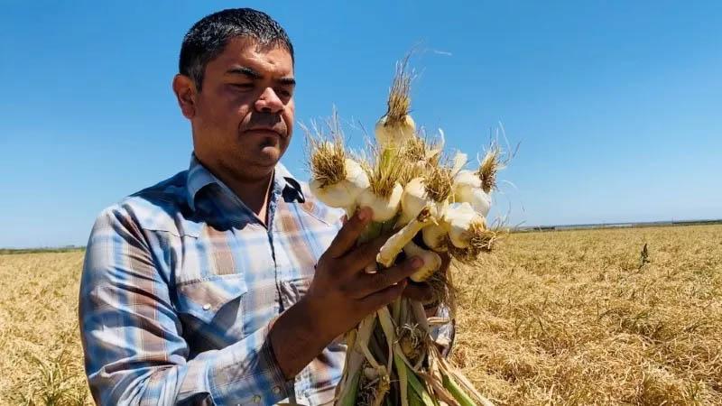 Salvador Parra, gerente do Burford Ranch, com safra de alho que está preparando para colher e vender, em Cantua Creek, na Califórnia, EUA (Foto: Norma Galeana/Reuters)