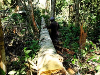 Foto mostra homem medindo árvore depois de cortá-la em Itaituba, oeste do Pará, no dia 7 de agosto de 2017. — Foto: Nacho Doce/Arquivo/Reuters